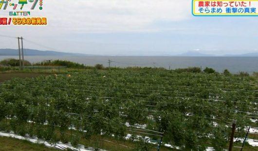 鹿児島県指宿市 一面、ソラマメ畑!